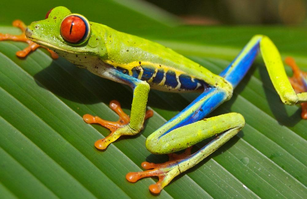 FAB tree frog